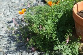 Fumeterre et Eschscholzia (pavot de Californie)