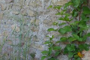 Premières fleurs de mûrier